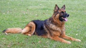 Those incredibly 'unreliable' DOGS............again! - Page 9 GSD-300x168