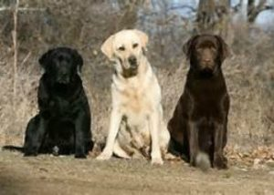Those incredibly 'unreliable' DOGS............again! - Page 9 Lab-300x214